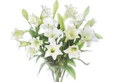 שושן צחור (הפרחים מגיעים סגורים)