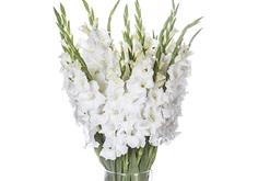 סייפן - גלדיולה (הפרחים מגיעים סגורים)
