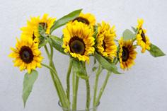 חמניות (הפרחים מגיעים סגורים)